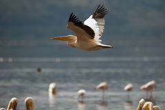 Pelikan lata nad jeziorem Zdjęcie Stock