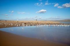 Pelikan lata nad seagulls przy Pacyfik i Santa Maria rzeką przy Rancho Guadalupe piaska diunami na centrali wybrzeżu Kalifornia u obraz royalty free