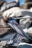 Pelikan med en öppen mun Arkivbild