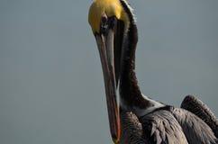 Pelikan med inställning Royaltyfri Fotografi