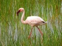 Pelikan med röda ögon Arkivbilder