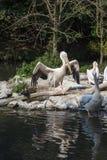 Pelikan med stora vingar Royaltyfri Bild