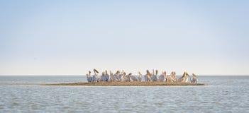 Pelikan-Menge lizenzfreies stockfoto