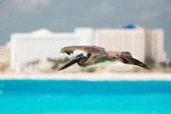 Pelikan in Mexiko Stockbild