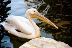 Pelikan między wodą Zdjęcie Stock