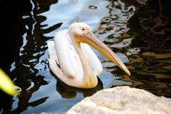 Pelikan między wodą Obraz Stock