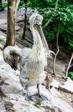 Pelikan mit dem geöffneten Schnabel Stockfotos
