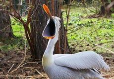 Pelikan mit dem geöffneten Schnabel Stockfoto