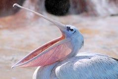 Pelikan mit dem geöffneten Schnabel lizenzfreies stockfoto