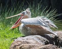 Pelikan mit dem Mund offen Stockbild