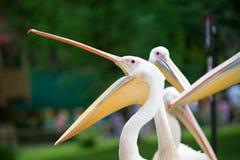 Pelikan mit dem weit geöffneten Schnabel Stockbild
