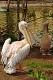 Pelikan mit einem offenen Schnabel. Stockfotos