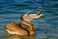 Pelikan mit Fischen Stockbilder