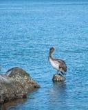 Pelikan mit Fischen-Köder Stockbild