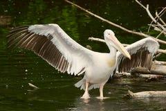 Pelikan mit geöffneten Flügeln Stockfotografie