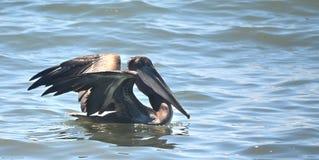 Pelikan an Monterey-Bucht Stockbild