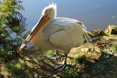 Pelikan nära sjön royaltyfria bilder