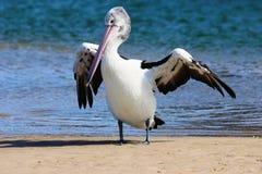 Pelikan na światła słonecznego wybrzeżu Zdjęcie Stock