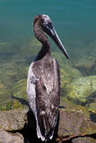 Pelikan na aqua Obrazy Stock