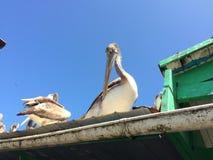 Pelikan na dachu Obrazy Royalty Free