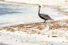 Pelikan na Dziewiczej wyspy plaży Fotografia Stock
