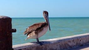 Pelikan na molu w Progreso, Meksyk fotografia stock