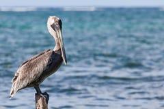 Pelikan na pilonie zdjęcia stock