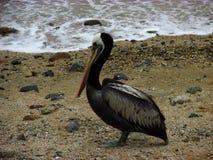 Pelikan na plaży obrazy stock