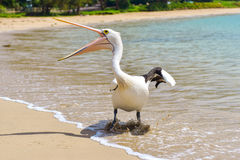 Pelikan na plaży Fotografia Stock