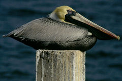 Pelikan na poczta Obraz Royalty Free