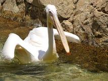 Pelikan Na powierzchni Obrazy Royalty Free