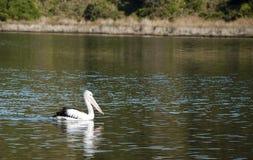 Pelikan na rzece Fotografia Royalty Free