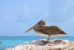 Pelikan na skale Zdjęcia Royalty Free