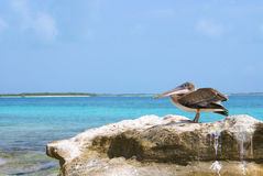 Pelikan na skale Zdjęcie Royalty Free