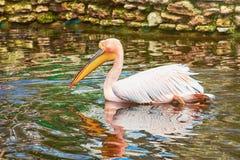 Pelikan na stawie Fotografia Royalty Free