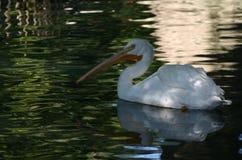 Pelikan na wodzie Obrazy Royalty Free