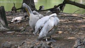 Pelikan na wyspie w wiosna czasie zdjęcie wideo