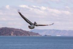 Pelikan Nicoya golf, Puntarenas Costa Rica Royaltyfri Foto