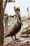pelikan occidentalis pelecanus pelikan fotografia royalty free