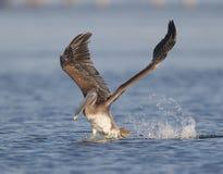 pelikan occidentalis pelecanus pelikan Obrazy Royalty Free