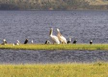 Pelikan och andra waterbirds fotografering för bildbyråer