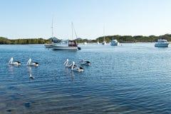 Pelikan och fartyg på Myall sjön Arkivfoto