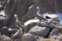 Pelikan och fiskmåsar Arkivbilder