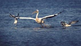 Pelikan och roliga fiskmåsar på sjön Sasyk, Ukraina Arkivfoton