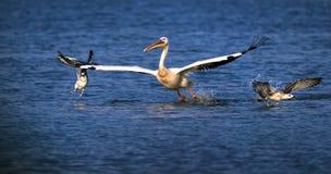 Pelikan och roliga fiskmåsar på sjön Sasyk, Ukraina Royaltyfri Foto