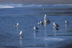 Pelikan och seagulls Fotografering för Bildbyråer