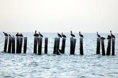 Pelikan och seagulls i havet Arkivbild