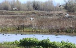 Pelikan och vattenfågel på Sacramento den nationella djurlivfristaden Royaltyfri Fotografi