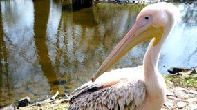 Pelikan olha para trás Fotos de Stock