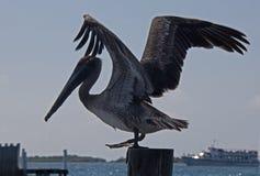 Pelikan omkring som ska tas av från fartygskeppsdocka på fartygskeppsdockastolpen på den Isla Mujeres ön precis av den Cancun kus royaltyfri foto